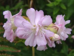 saponaria_officinalis_soapwort_flore_pleno_flower_16-08-04