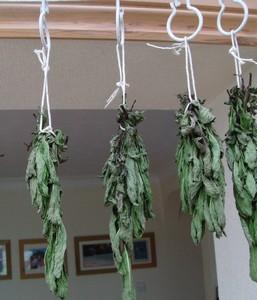 drying-mint
