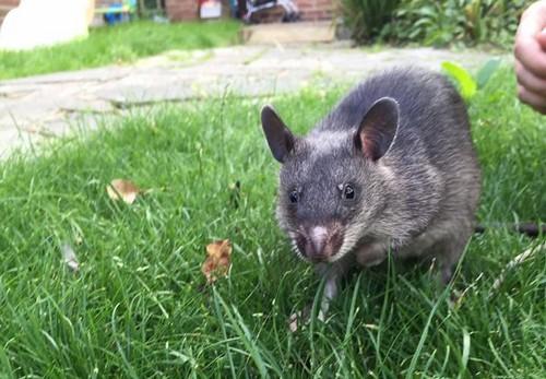 ruby the rat helping Lisa Boulden PR with zero waste week