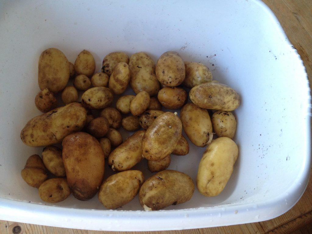 home grown new potatoes