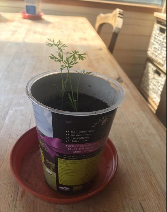 yogurt-pot-used-for-seedlings